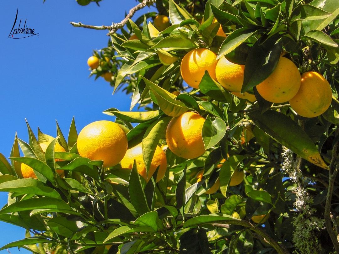 Oranger, jardins du Palais de Queluz à Sintra, près de Lisbonne, Portugal